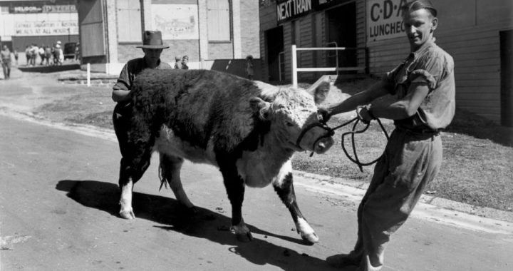 Stubborn young Hereford being unwillingly lead by his attendant, RNA Show, Brisbane, 1940